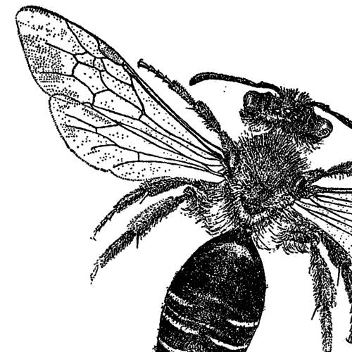 Adrena dorsata Rotbeinige Körbchensandbiene