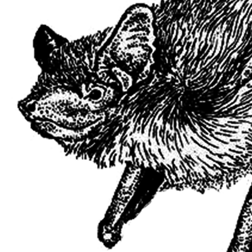 Eptesicus serotinus Breitflügelfledermaus