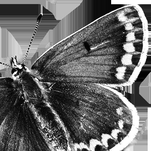 Aricia agestis Kleiner Sonnenröschen-Bläuling