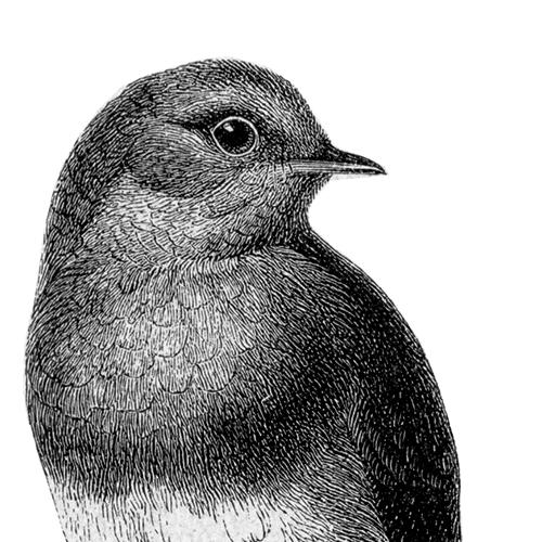Erithacus rubecula Rotkehlchen