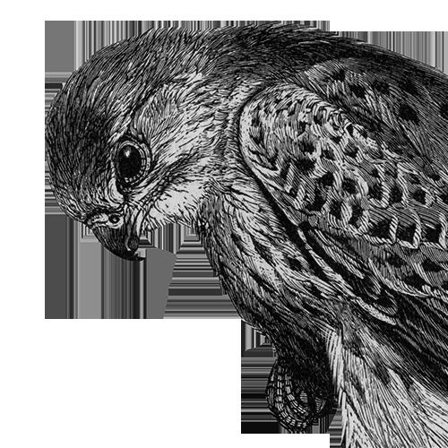 Falco tinnunculus Turmfalke