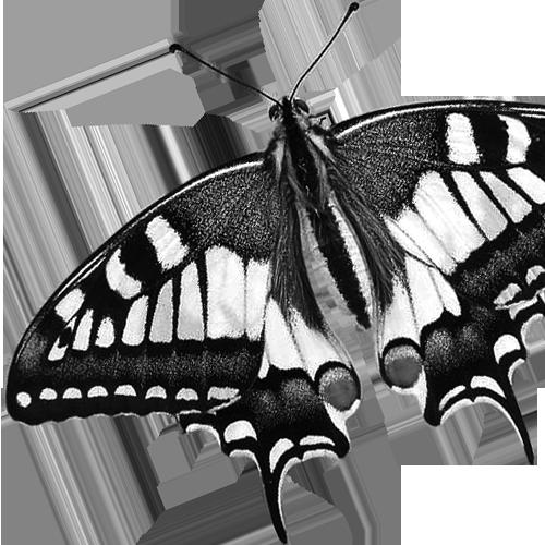 Papilio machaon Schwalbenschwanz