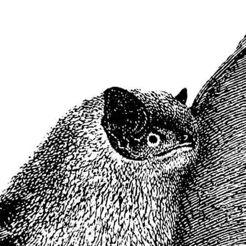 Pipistrellus pipistrellus Zwergfledermaus