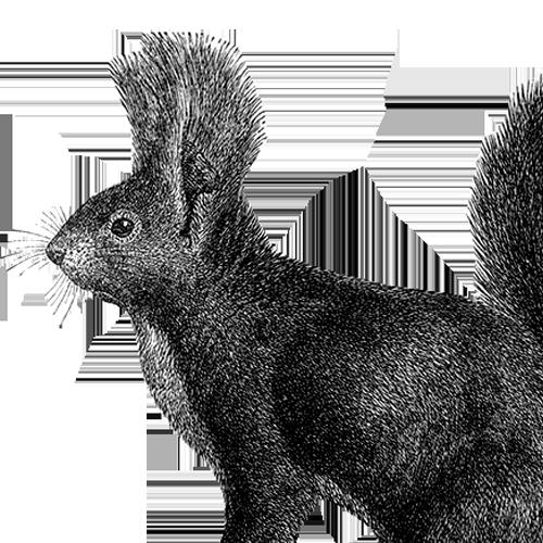 Sciurus vulgaris Eurasisches Eichhörnchen